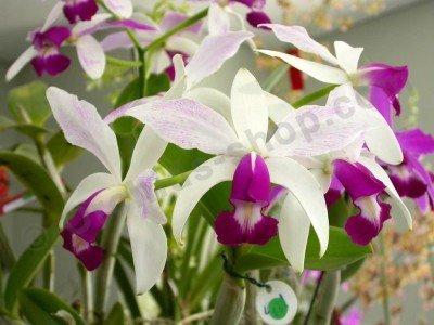 Cattleya violacea semi alba
