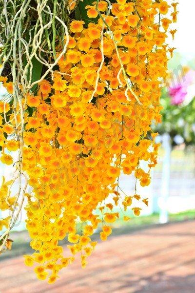 Dendrobium lindleyii (aggregatum)