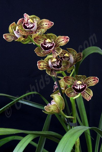 "Cymbidium Harriet Ishitani ""Big"""
