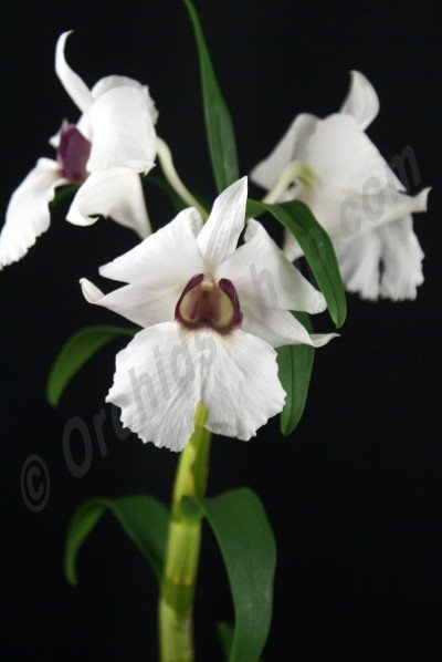Dendrobium sanderae var. major