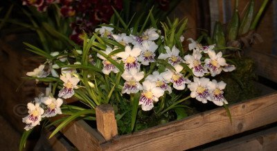 Miltoniopsis phalaenopsis