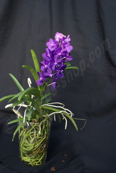 Vanda Thai Sky Special Selection 3