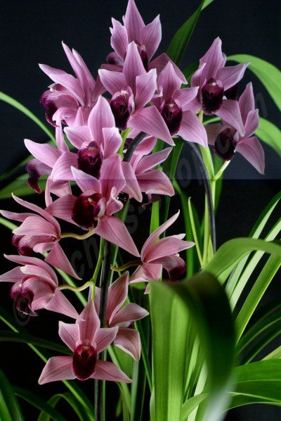 "Cymbidium Devon Wine ""Million Veil"""
