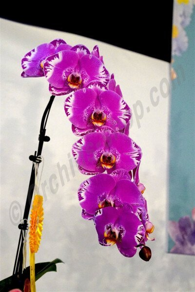 "Phalaenopsis OX Spot Queen ""OX 1460"" AM/AOS"