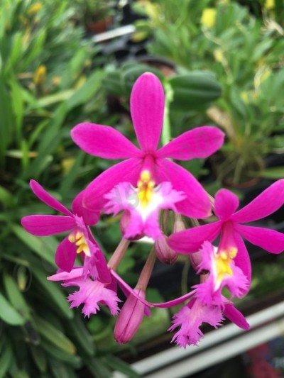 Epidendrum Pink Compact