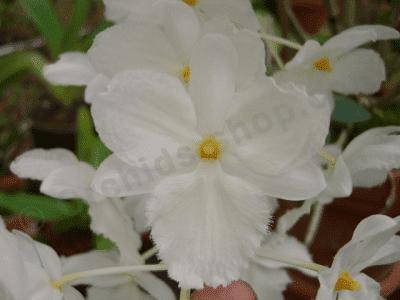 Dendrobium farmerii alba sp. vietnam