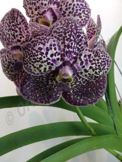 Ascocenda Kulwadee Purple Fragrance