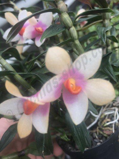 Dendrobium cuthbersonii x sulawesii (dark)