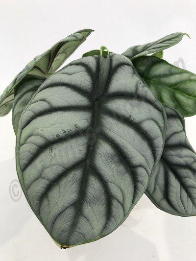 """Alocasia Silver Dragon """"Big Plant"""""""