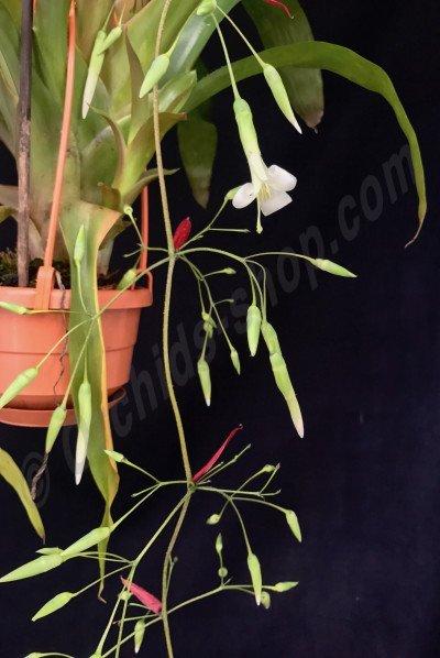 Aechmea filicaulis (1+1 gratis, zolang de voorraad strekt)
