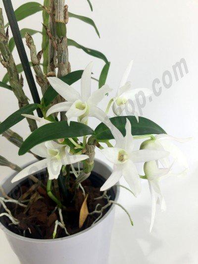 "Dendrobium moniforme ""Phyllis"" HCC/AOS (Japan)"