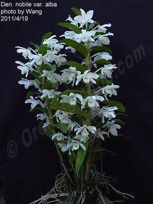 "Dendrobium nobile var. alba ""Virginalis"" (Big Plant)"
