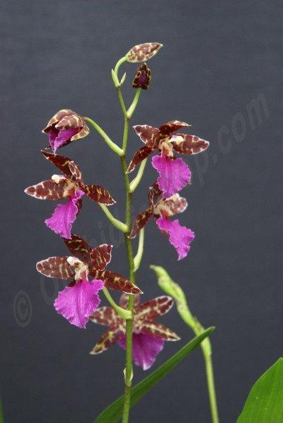 Odontoglossum Violetta `Dominique`