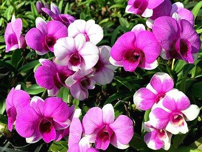 Dendrobium Mini Quot Mix Color Quot Claessen Orchids