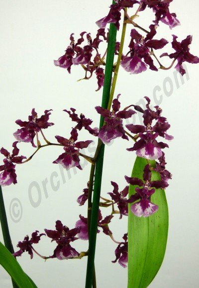 "Oncidium Sharry Baby ""Sweet Fragrance"" AM/AOS'' Dutch Type"