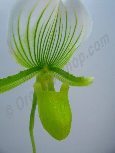 Paphiopedilum Maudiae Green