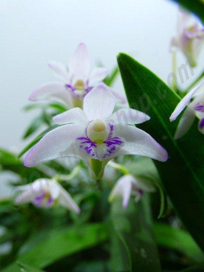 "Dendrobium kingianum var. silcockii ""Big"""