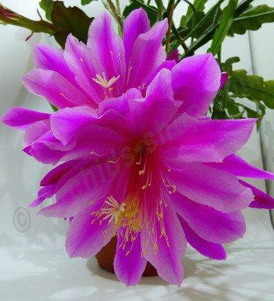 Epiphyllum Purple