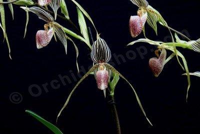 Paphiopedilum rothschildianum x Topperi