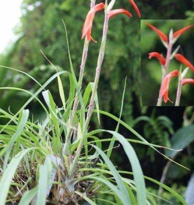Pitcairnia heterophylla