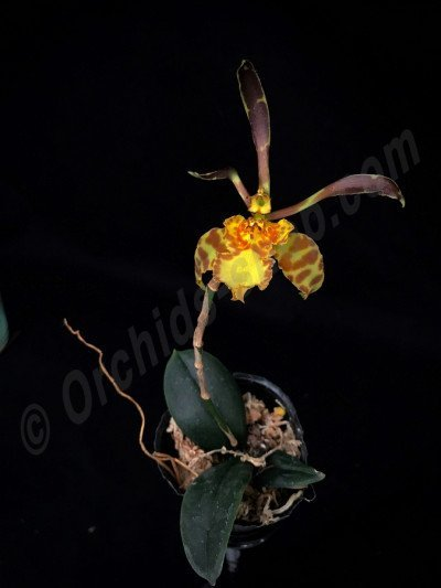 Psychopsis Mariposa x Psy. limminghei