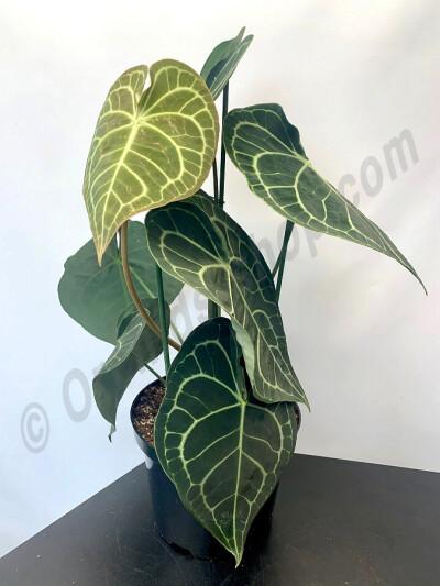 """Anthurium clarinervium """"Big XXL plant/ leaves"""""""