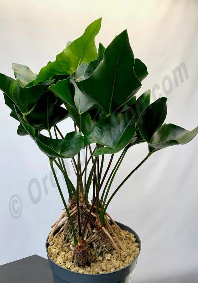 Anthurium Arrow ''Big Plant 3 Stuks''