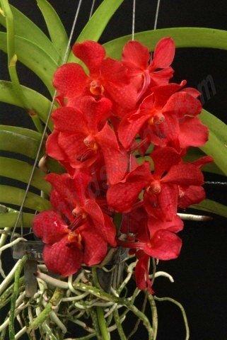 Ascocenda Red Hybrid