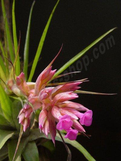 Tillandsia geminiflora ''Big''