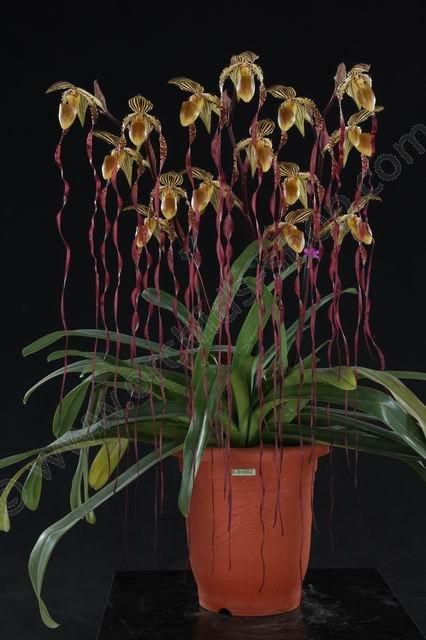 Paphiopedilum Sanderianum Big Claessen Orchids