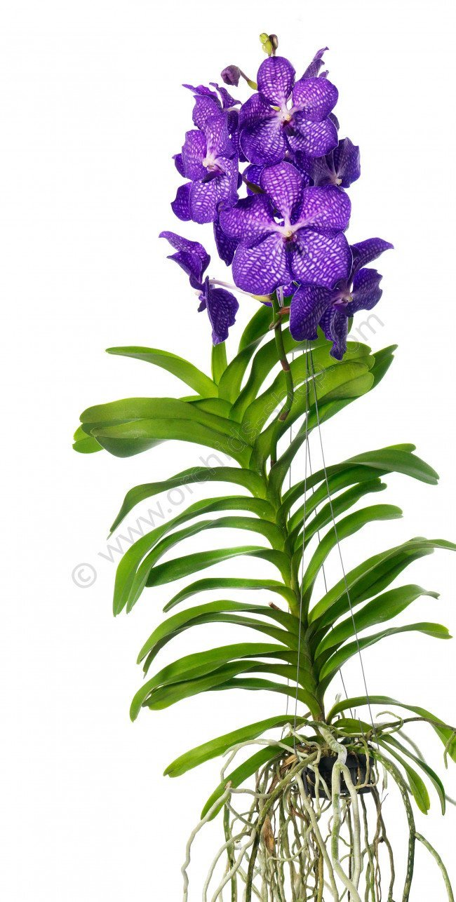 orchidee vanda blue magic kaufen