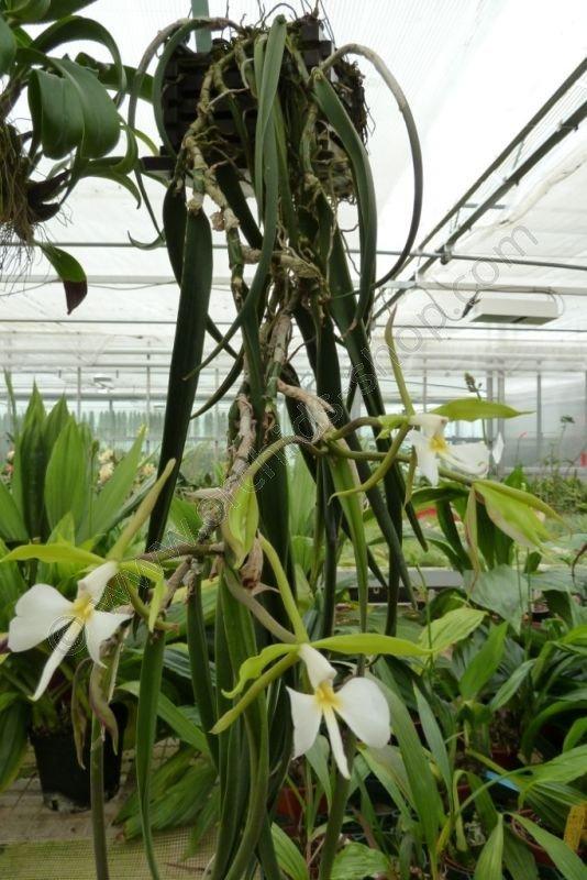 Epidendrum Parkinsonianum Claessen Orchids