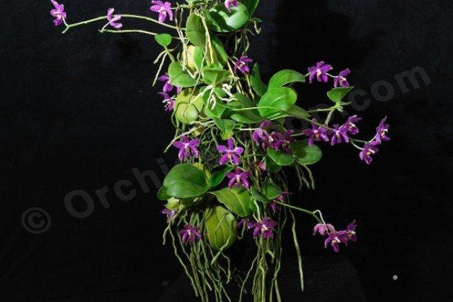 Phalaenopsis Pulchra Claessen Orchids