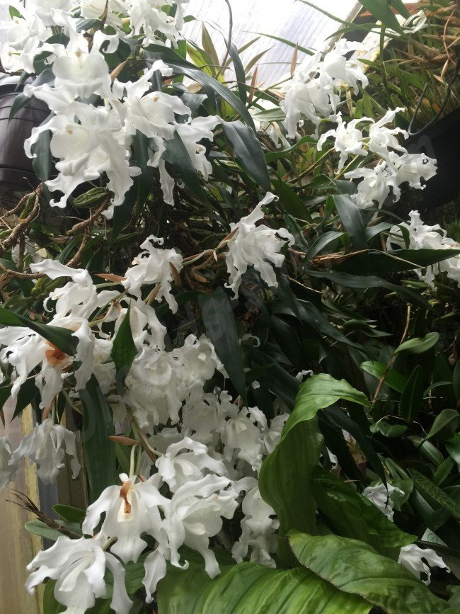 Coelogyne Cristata Var Alba Quot Hololeuca Quot Claessen Orchids