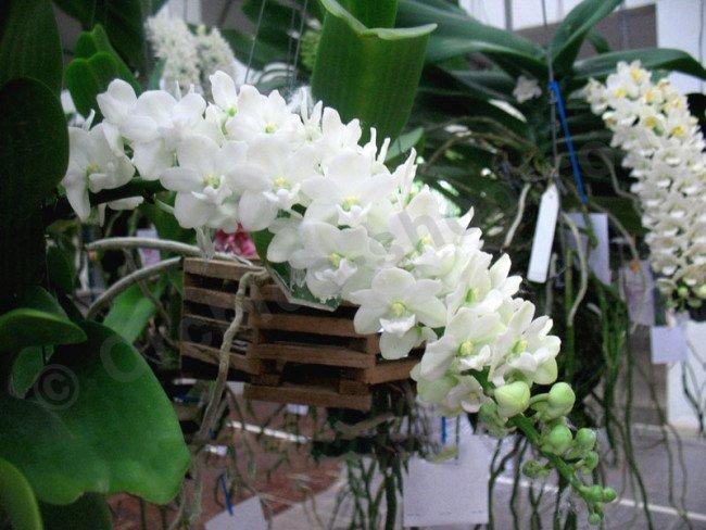 "Rhynchostylis gigantea /'spot/' x /'orange/' Orchid 1 Plant 1/"" In Pot From Thailand"