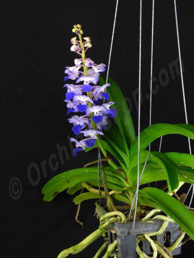 Rhynchostylis Coelestis Quot Blue Quot Claessen Orchids