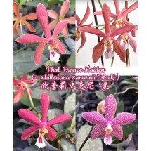 "Phalaenopsis Bronze Maiden 欣蕾莉交曼尼 '黑' (Phal. schilleriana x Phal. mannii ""Black"")"