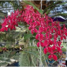 "Renanthera Bangkok Beauty ""XL"""