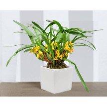 """Maxillaria variabilis """"Big"""""""