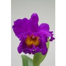 Blc. Pink Violet Empress `Bright Sun` Big