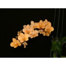 "Asconopsis Irene Dopkin ""Big Plant"""