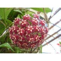 Hoya pubicalyx ''Big Plant''