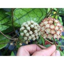 Hoya collistophylla