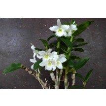 "Dendrobium Hybrid ""Pocket Lover'' Big"