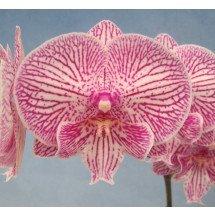 Phalaenopsis GC Reyoung Pearl