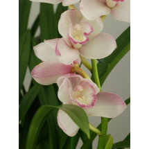 "Cymbidium Great Flower ""Marie Laurencin"""