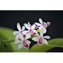 "Doritaenopsis Anna Larati ""Soekardi White"""