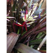 "Billbergia Hallelujah ""Brown Type"""