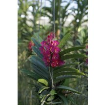 "Ascocentrum ampullaceum ""Big"""