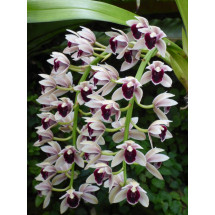 "Cymbidium Devon Gala ""New Horizon"""